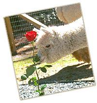 roseowner